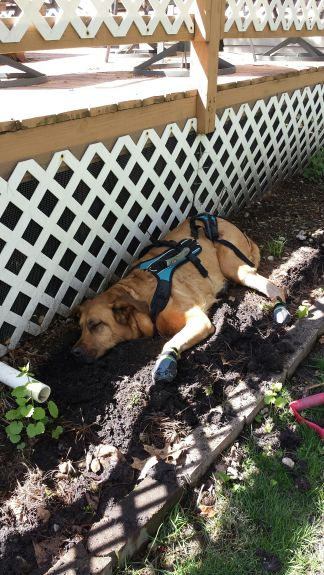 4-26-15 I was tired after yard work. I love Mud even more than snow!!!